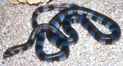 Blue Krait