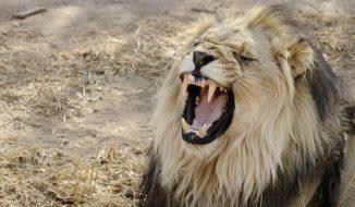 Man Eating Lions