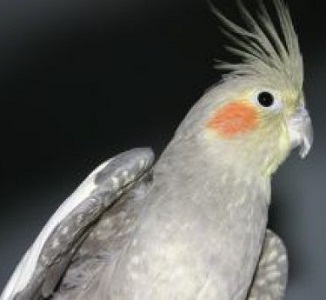 The Whistling Cockatiel