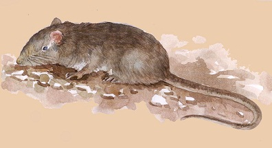 Elvira Rat