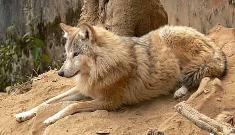 Himalayan Wolves