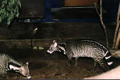 Malabar Civet