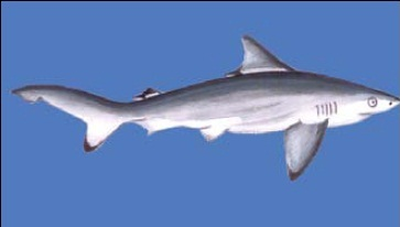 Pondicherry Shark