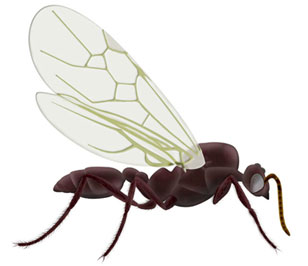 Drone Ants