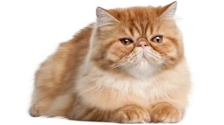 The Most Cleanest Cat Breed