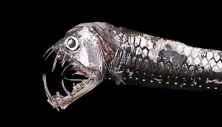 Viper Fish