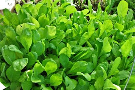 Mustard Spinach
