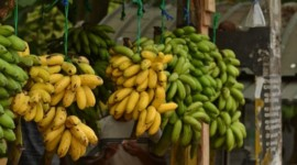 Largest Banana Producing State in India