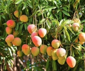Top 10 Largest Mango Producing State in India 2017