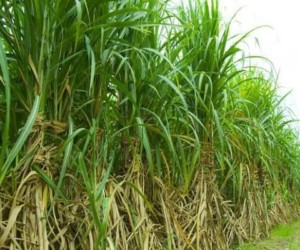 Top 10 Largest Sugarcane Producing States in India 2017