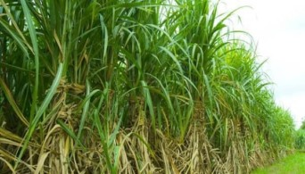 Top 10 Largest Sugarcane producing states of India 2017