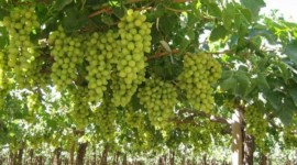 Grapes Producing Countries in the World