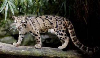 Formosan Clouded Leopard