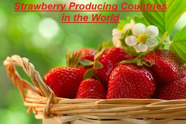 Strawberry Producing Countries